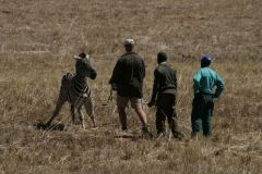 Drugged_Zebra
