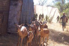 Herding_Impala