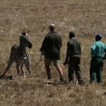 Drugged Zebra