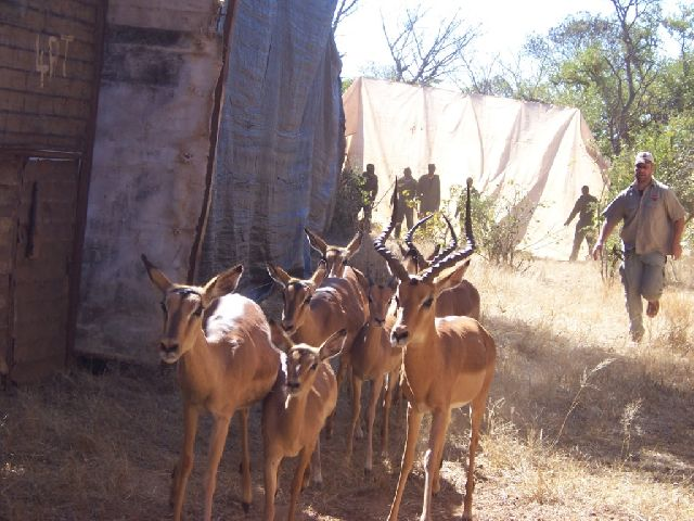 Herding Impala